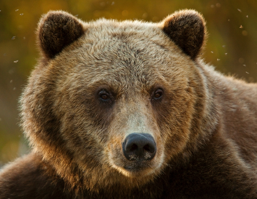 Pin Brown Bears Alaska Free Wallpapers On Pinterest